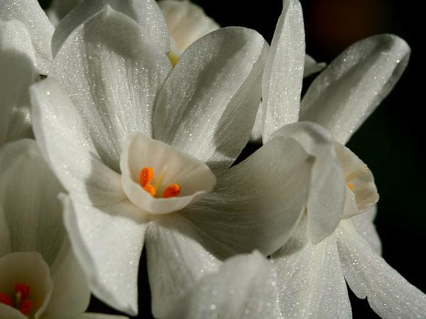 Paperwhite Narcissus (Narcissus Papyraceus) https://www.sagebud.com/paperwhite-narcissus-narcissus-papyraceus