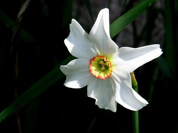 Poet's Narcissus (Narcissus Poeticus) https://www.sagebud.com/poets-narcissus-narcissus-poeticus/