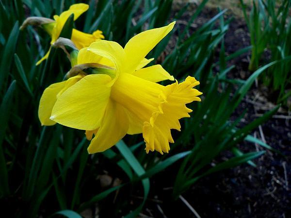 Daffodil (Narcissus Pseudonarcissus) https://www.sagebud.com/daffodil-narcissus-pseudonarcissus