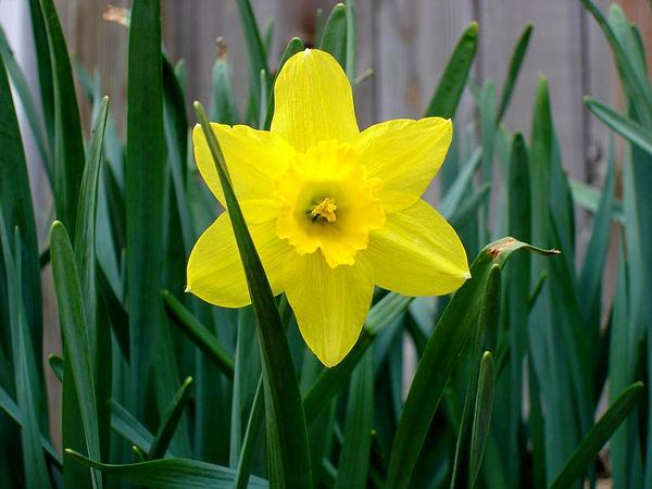 Daffodil (Narcissus) https://www.sagebud.com/daffodil-narcissus