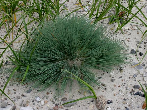 Matgrass (Nardus) https://www.sagebud.com/matgrass-nardus