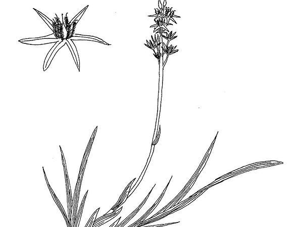 Asphodel (Narthecium) https://www.sagebud.com/asphodel-narthecium