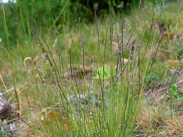 Matgrass (Nardus Stricta) https://www.sagebud.com/matgrass-nardus-stricta/