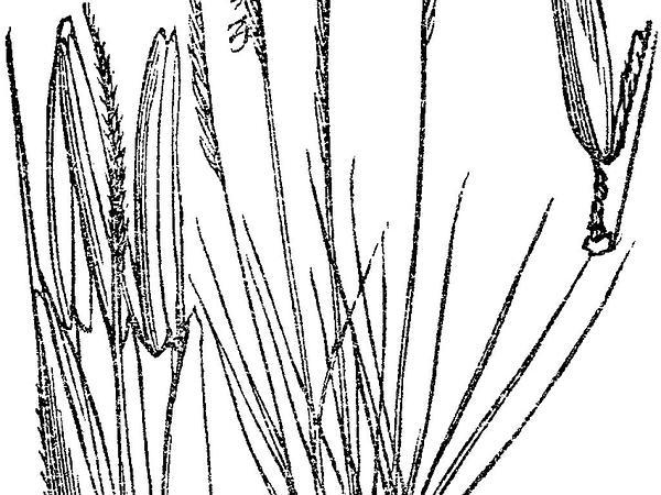 Matgrass (Nardus Stricta) https://www.sagebud.com/matgrass-nardus-stricta