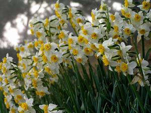 Cream Narcissus