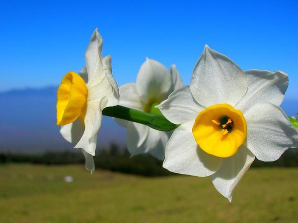 Cream Narcissus (Narcissus Tazetta) https://www.sagebud.com/cream-narcissus-narcissus-tazetta