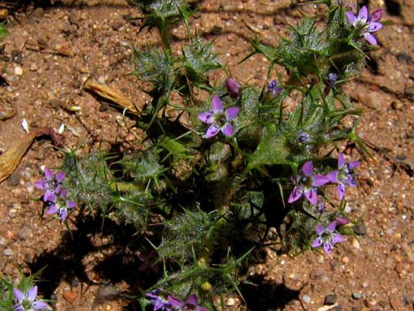 Pincushionplant (Navarretia) https://www.sagebud.com/pincushionplant-navarretia