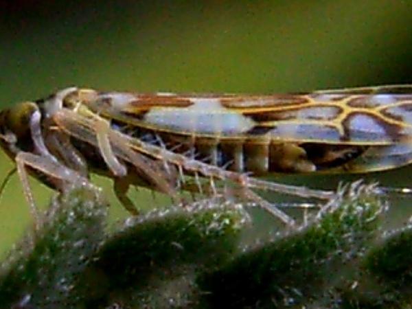 Catnip (Nepeta Cataria) https://www.sagebud.com/catnip-nepeta-cataria/