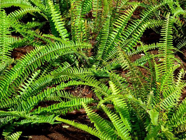 Narrow Swordfern (Nephrolepis Cordifolia) https://www.sagebud.com/narrow-swordfern-nephrolepis-cordifolia
