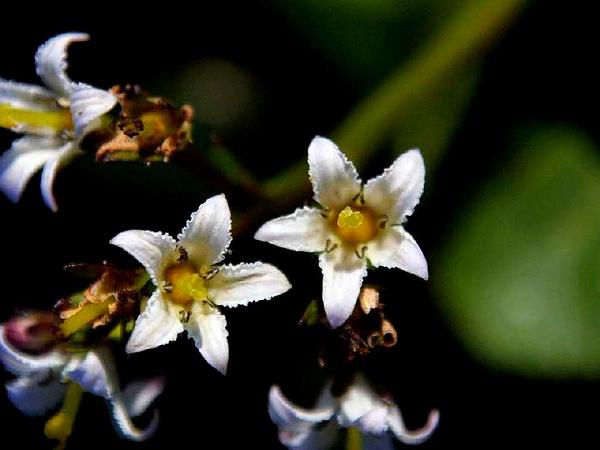 Deercabbage (Nephrophyllidium Crista-Galli) https://www.sagebud.com/deercabbage-nephrophyllidium-crista-galli/