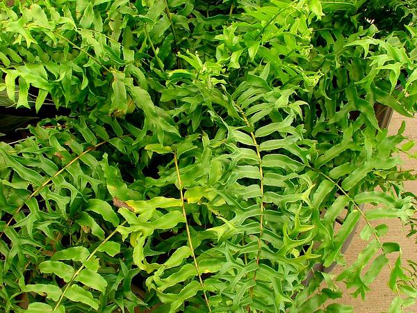 Fishtail Swordfern (Nephrolepis Falcata) https://www.sagebud.com/fishtail-swordfern-nephrolepis-falcata/