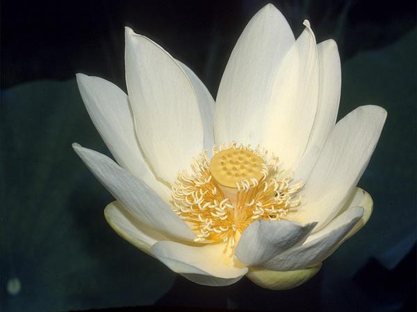 American Lotus (Nelumbo Lutea) https://www.sagebud.com/american-lotus-nelumbo-lutea