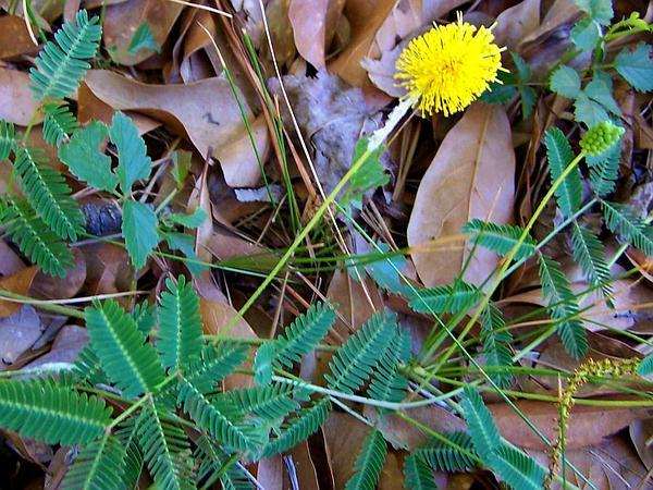 Yellow Puff (Neptunia Lutea) https://www.sagebud.com/yellow-puff-neptunia-lutea