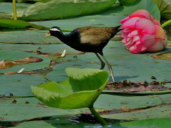 Lotus (Nelumbo) https://www.sagebud.com/lotus-nelumbo