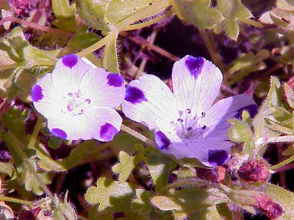 Fivespot (Nemophila Maculata) https://www.sagebud.com/fivespot-nemophila-maculata