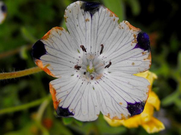 Baby Blue Eyes (Nemophila) https://www.sagebud.com/baby-blue-eyes-nemophila/
