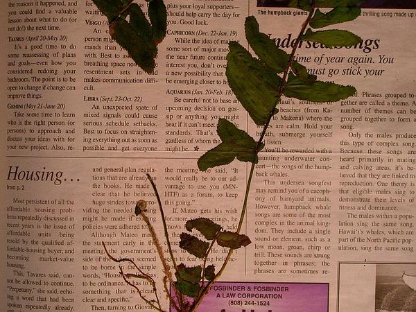 Asian Swordfern (Nephrolepis Multiflora) https://www.sagebud.com/asian-swordfern-nephrolepis-multiflora/