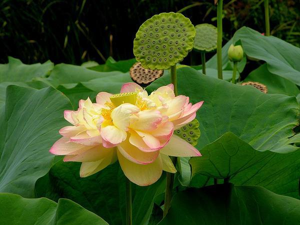 Sacred Lotus (Nelumbo Nucifera) https://www.sagebud.com/sacred-lotus-nelumbo-nucifera/