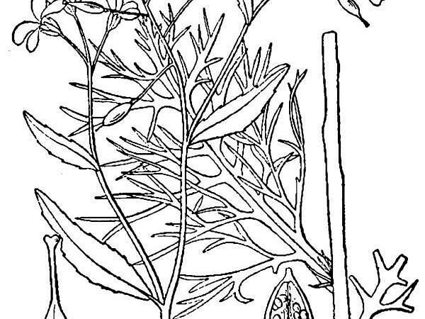 Lakecress (Neobeckia) https://www.sagebud.com/lakecress-neobeckia