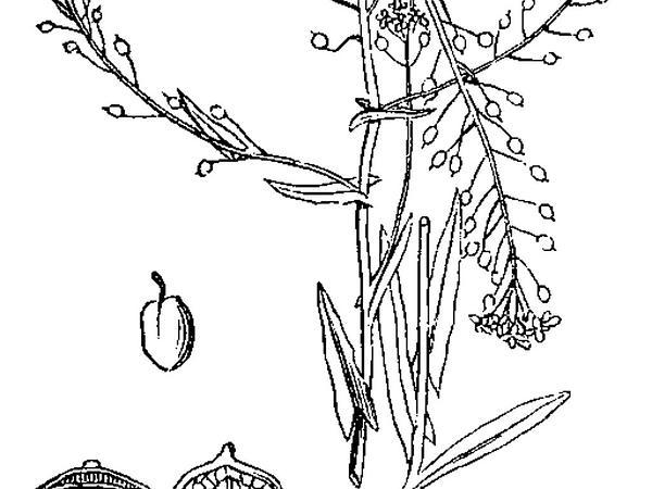 Ballmustard (Neslia Paniculata) https://www.sagebud.com/ballmustard-neslia-paniculata/