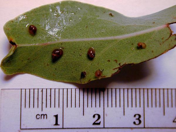 Hawai'I Olive (Nestegis Sandwicensis) https://www.sagebud.com/hawaii-olive-nestegis-sandwicensis