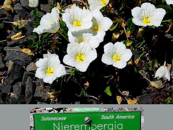 Cupflower (Nierembergia) https://www.sagebud.com/cupflower-nierembergia/