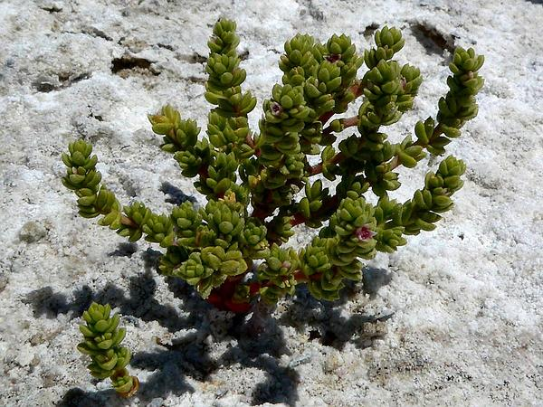 Amargosa Niterwort (Nitrophila Mohavensis) https://www.sagebud.com/amargosa-niterwort-nitrophila-mohavensis