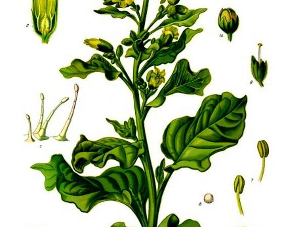 Aztec Tobacco (Nicotiana Rustica) https://www.sagebud.com/aztec-tobacco-nicotiana-rustica