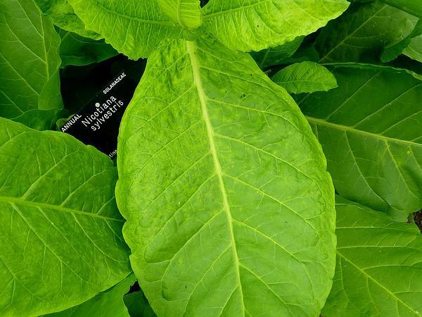 South American Tobacco (Nicotiana Sylvestris) https://www.sagebud.com/south-american-tobacco-nicotiana-sylvestris