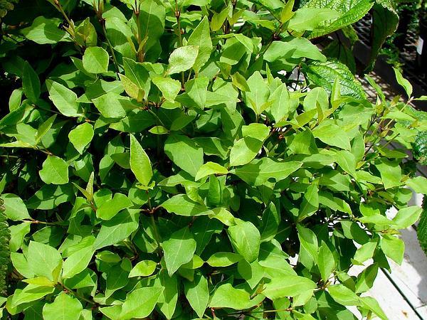 Kaala Rockwort (Nototrichium Humile) https://www.sagebud.com/kaala-rockwort-nototrichium-humile
