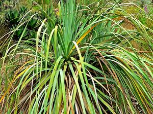 Dehesa Beargrass