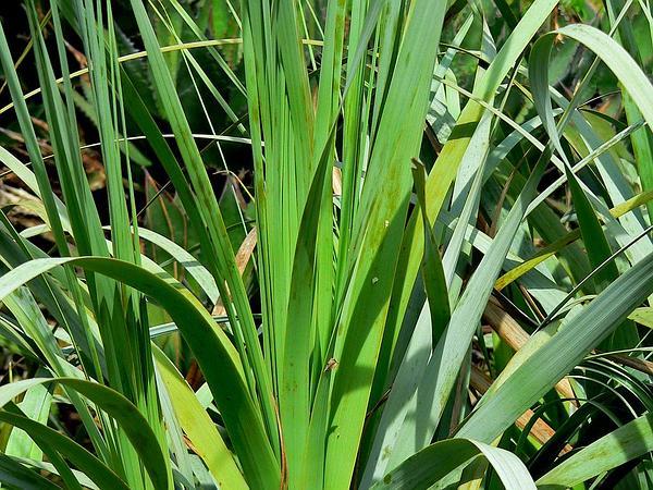 Dehesa Beargrass (Nolina Interrata) https://www.sagebud.com/dehesa-beargrass-nolina-interrata