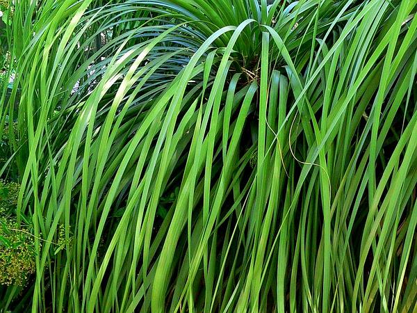 Beargrass (Nolina) https://www.sagebud.com/beargrass-nolina