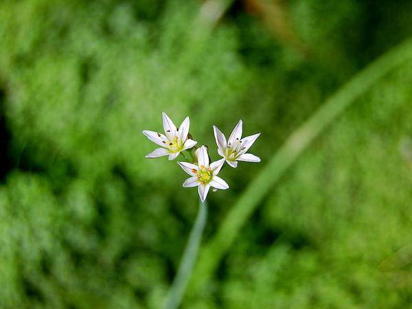 False Garlic (Nothoscordum) https://www.sagebud.com/false-garlic-nothoscordum