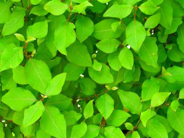 Rockwort (Nototrichium) https://www.sagebud.com/rockwort-nototrichium