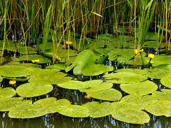 Yellow Pond-Lily (Nuphar Lutea) https://www.sagebud.com/yellow-pond-lily-nuphar-lutea/