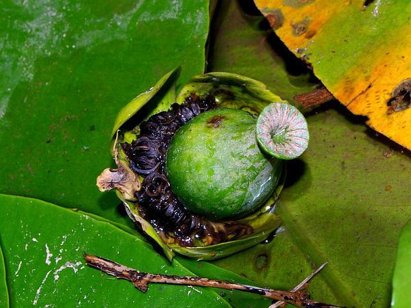Pond-Lily (Nuphar) https://www.sagebud.com/pond-lily-nuphar