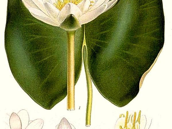 European White Waterlily (Nymphaea Alba) https://www.sagebud.com/european-white-waterlily-nymphaea-alba
