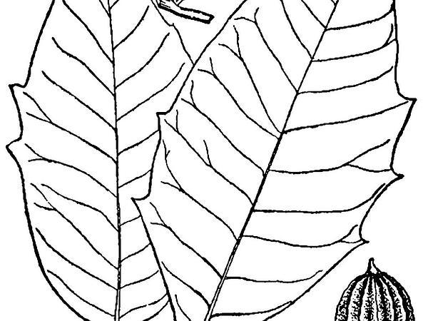 Water Tupelo (Nyssa Aquatica) https://www.sagebud.com/water-tupelo-nyssa-aquatica