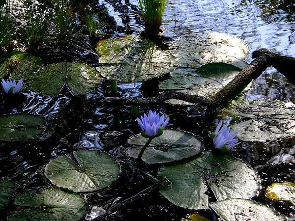 Cape Blue Waterlily (Nymphaea Capensis) https://www.sagebud.com/cape-blue-waterlily-nymphaea-capensis