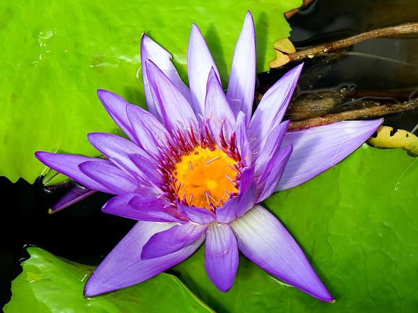 Egyptian Lotus (Nymphaea Caerulea) https://www.sagebud.com/egyptian-lotus-nymphaea-caerulea