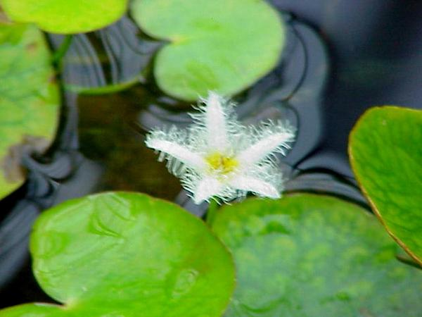 Water Snowflake (Nymphoides Indica) https://www.sagebud.com/water-snowflake-nymphoides-indica