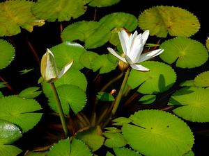 White Egyptian Lotus