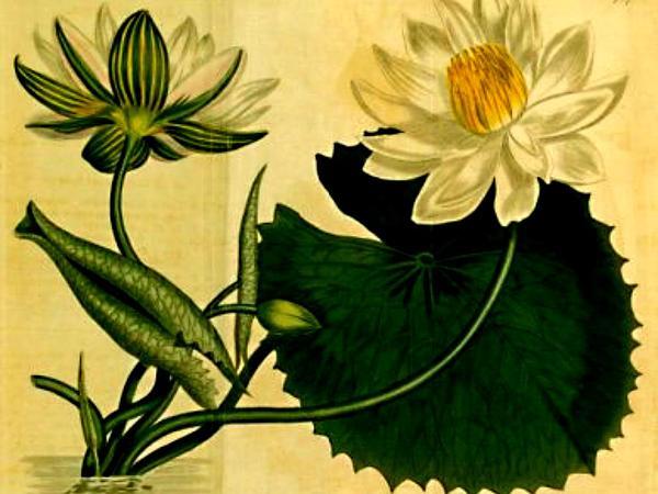 White Egyptian Lotus (Nymphaea Lotus) https://www.sagebud.com/white-egyptian-lotus-nymphaea-lotus