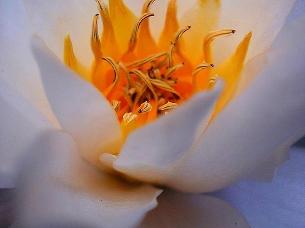 Waterlily (Nymphaea) https://www.sagebud.com/waterlily-nymphaea
