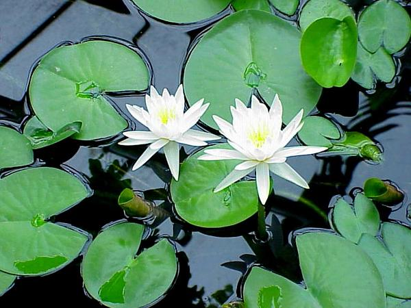 American White Waterlily (Nymphaea Odorata) https://www.sagebud.com/american-white-waterlily-nymphaea-odorata