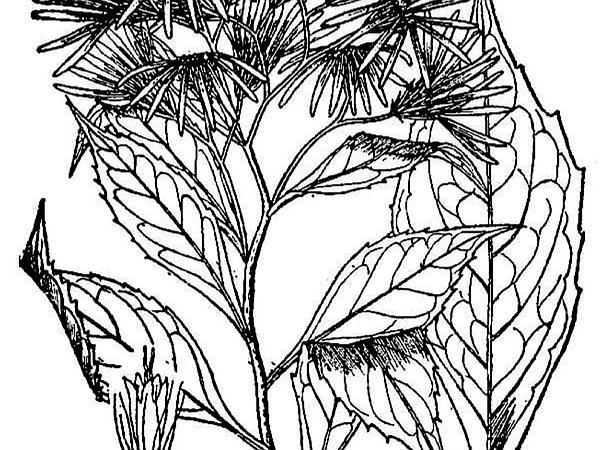 Whorled Wood Aster (Oclemena Acuminata) https://www.sagebud.com/whorled-wood-aster-oclemena-acuminata