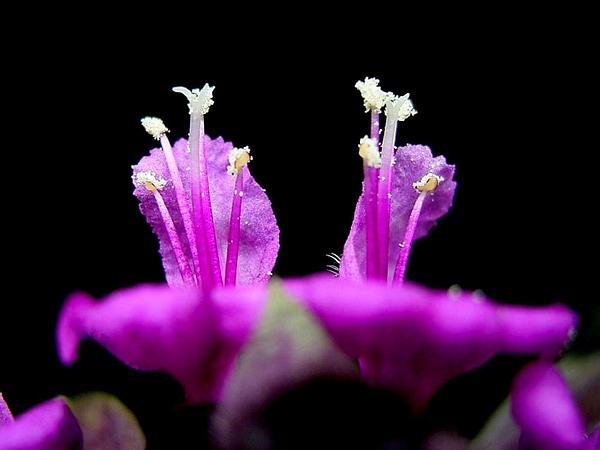 Sweet Basil (Ocimum Basilicum) https://www.sagebud.com/sweet-basil-ocimum-basilicum