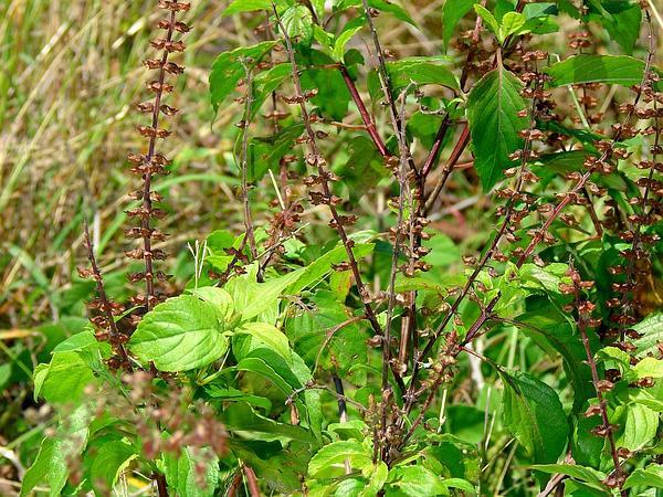 African Basil (Ocimum Gratissimum) https://www.sagebud.com/african-basil-ocimum-gratissimum