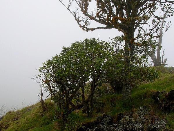 Island Yellowwood (Ochrosia Haleakalae) https://www.sagebud.com/island-yellowwood-ochrosia-haleakalae